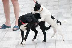 Two dogs play on the street Royalty Free Stock Photo