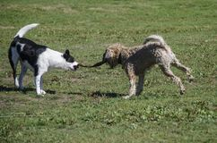Two dogs play tug of war with a stick. Two medium sized dogs play tug of war with a stick at the dog park stock images