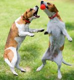 Two dogs playing. With the ball Royalty Free Stock Photo
