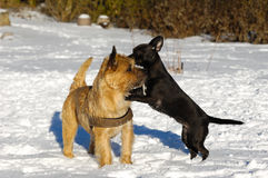 Two dogs playing. Dogs are playing in the the snow. The breed of the dogs are a Cairn Terrier and the small dog is a mix of a Chihuahua and a Miniature Pinscher Royalty Free Stock Photo