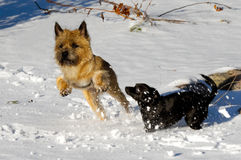 Two dogs playing. Dogs are playing and running in the snow. Motion blur. The breed of the dogs are a Cairn Terrier and the small dog is a mix of a Chihuahua and Stock Photography