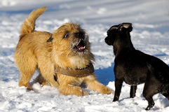 Two dogs playing. Dogs are playing in the snow. Motion blur. The breed of the dogs are a Cairn Terrier and the small dog is a mix of a Chihuahua and a Miniature Royalty Free Stock Image