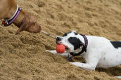 Two dogs playing. With a toy Stock Photo