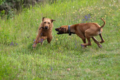 Two dogs playing Royalty Free Stock Image