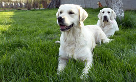 Two dogs playing stock images