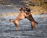 Two dogs playing. With teeth stock photography
