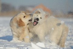 Two dogs playing. Two dogs breed labrador playing in the snow on the field Stock Photography