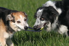 Two dogs playing. Tug with a ball Royalty Free Stock Image