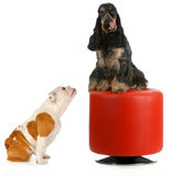 Two dogs playing Royalty Free Stock Photography