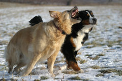 Two dogs playing. Golden Retriever and Bernese Mountain dog having fun royalty free stock image