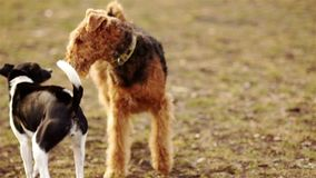 Two dogs are playing in the autumn park. Doggy scent. Irish Terrier and black and white mongrel.  stock video footage