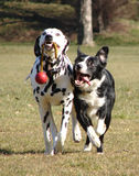 Two dogs playing with ball stock photography