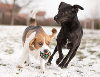Two dogs playing stock image