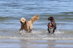 Two Dogs Playing with a Ball at the beach Stock Photo