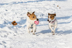 Two dogs playing with a ball. Pair of Jack Russell Terrier pets Stock Images