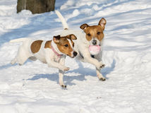 Two dogs playing with a ball at winter park Stock Photography