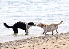 Two dogs playing on beach Stock Photography