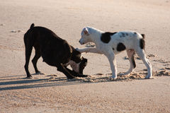 Two dogs playing at the beach Royalty Free Stock Photography