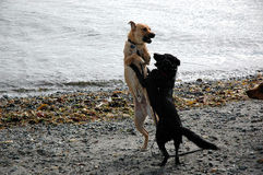 Two dogs playing on beach. A view of two dogs playing together near the water as they run along a sandy beach royalty free stock photography