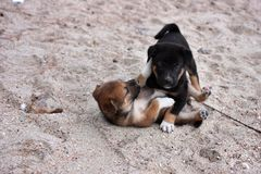 Two dogs playing on the beach Royalty Free Stock Photo