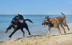 Two dogs playing on the beach. Two happy dogs playing on the beach Stock Images