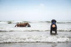 Two dogs playing at the beach. Outdoor shooting Royalty Free Stock Image