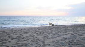 Two dogs playing on the beach.  stock footage