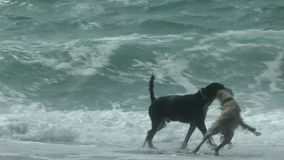 Two Dogs Playing on the Beach. Waves breaking on the coast of the Mediterranean sea. Puppy jumping up at an older black dog shaking off water. Daytime, sunny stock footage