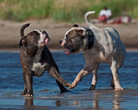 Two dogs playing at the beach Royalty Free Stock Photo
