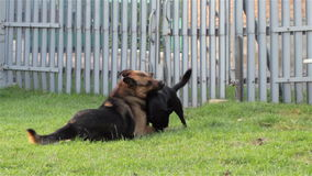 Two Dogs Playing. Big and small dog playing on the grass in the yard stock video