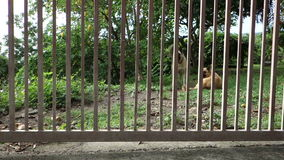 Two dogs playing in the caribbean. Pets having fun behind the garden gate at belmont house, bequia stock video