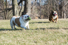 Two dogs playing catch Stock Photos