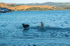 Two dogs playing chase in sea water royalty free stock images