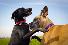 Two dogs playing closeup Royalty Free Stock Photos