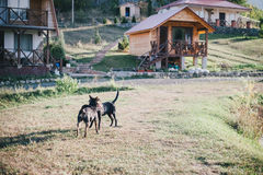 Two dogs playing in a countryhouse yard. Two dogs playing in a yard with houses on the background Stock Images