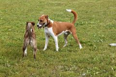 Two dogs. Playing at the dog park Royalty Free Stock Photos