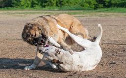 Two dogs playing dogfight Stock Images