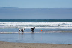 Two dogs Playing Fetch in Ocean at San Diego Dog Beach, California. Two dogs, a pit bull and an Australian shepherd, playing fetch with a ball in the ocean at royalty free stock photos