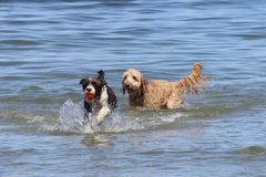 Two Dogs Playing Fetch. Two dogs playing a game of fetch with a ball at the beach stock image