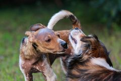 Dogs are playing in a field Stock Photography
