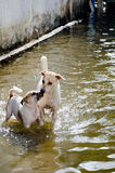 Two dogs  playing in flood Royalty Free Stock Image