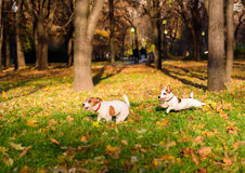 Two dogs playing funny pursuit at fall park. Pair of Jack Russell Terriers running on fallen leaves Royalty Free Stock Photo