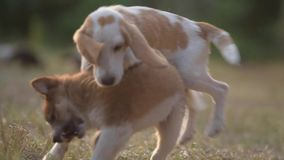 Two dogs playing in the grass with morning sun. stock footage