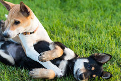 Two dogs playing on grass. Stock Photo