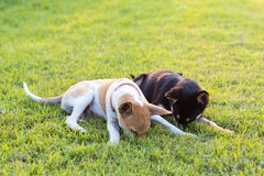 Two dogs playing on grass. Royalty Free Stock Image