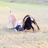 Two dogs playing on grass. Royalty Free Stock Photography