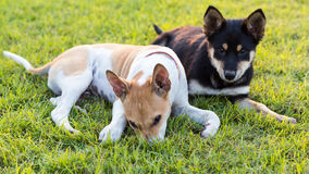 Two dogs playing on grass. Stock Photos