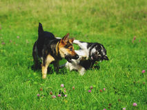 Two dogs playing on the green grass. One wicked. Royalty Free Stock Photo