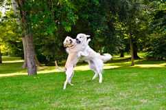 Two dogs. Playing on a green grass outdoors Stock Photos