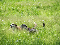 Two dogs playing (1) Stock Image